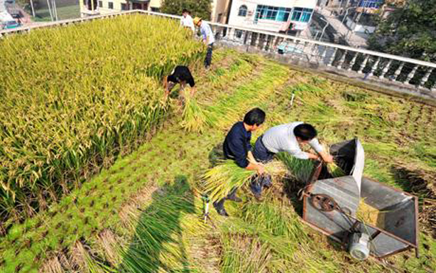 rooftop-rice-paddy-in-china